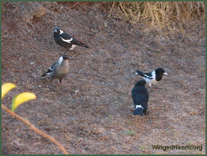 Magpies Sparky and Wendy with Karitu Currawong and Dimpy Pied-butcherbird