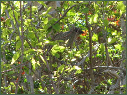 A female bowerbird is quietly
