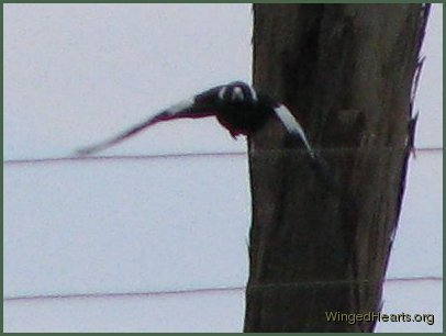 Vicky magpie flying in to land