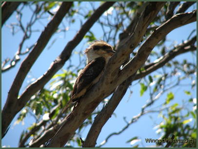 It's another kookaburra and she's calling me!
