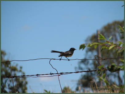 A willy-wagtail sitting on a fence