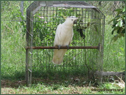 cockatoo in a cage