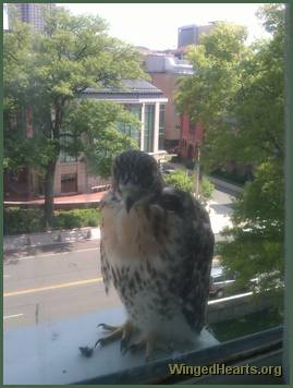 baby hawk in window