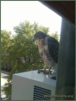 baby hawk on roof